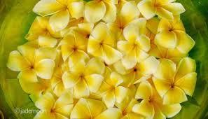 Plumerias Plumeria Heaven In Haleiwa