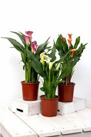 how to grow zantedeschia calla flowers indoor flowers garden