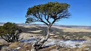rocky mountain juniper is easy to grow best trees to attract