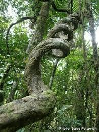 ceiba tree tree of fifth sun journeys i ve always