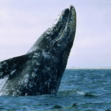 gray whale national geographic