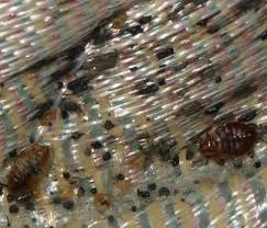 can you see bed bugs with a black light signs of bed bugs pictures of bed bug infestations