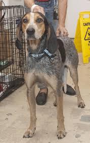 bluetick coonhound drool pebbles the bluetick coonhound u0027s web page