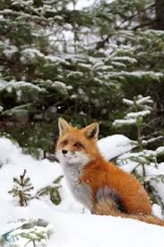 Fox In The Barn Little Fox On Snow Christmas Pinterest Foxes Snow And Winter
