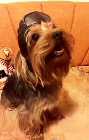 affenpinscher a vendre 1516 best yorkies images on pinterest yorkies animals and