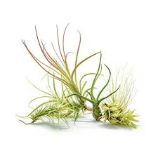 Air Plants Snagshout 6 Air Plant Variety Pack 6 Assorted Species Live