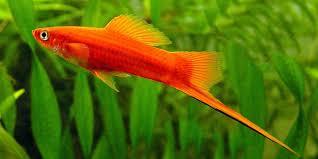 the best 10 freshwater aquarium fish for beginners aquatic mag