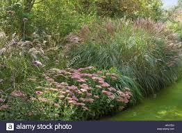 ornamental grasses border sedum spectabile verbena bonariensis