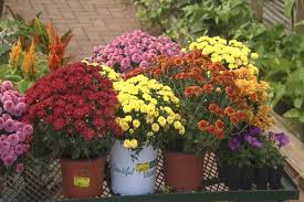 fall mums types