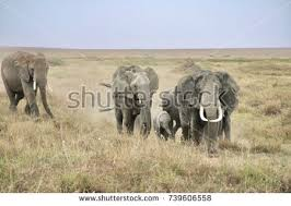 elephant big family elephants elephant stock photo 739606558