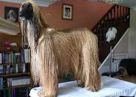 afghan hound racing uk grooming the breed the afghan hound association