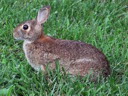 Can You Bury Animals In Your Backyard Rabbits How To Identify And Get Rid Of Rabbits Garden Pest