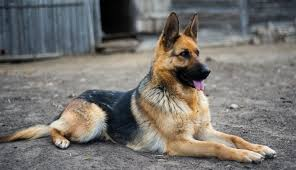 american pitbull terrier vs german shepherd german shepherd dog breed information idw