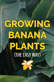 banana plant care growing guide banana plants plants and gardens