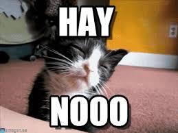 Nooo Meme - hay sleepy cat meme on memegen