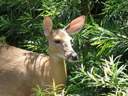 When Do Deer Shed Their Antlers by White Tailed Deer Town Of Kiawah Island