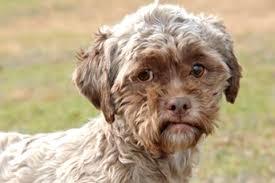 boxer dog in heaven shih tzu boxer mix photo happy dog heaven