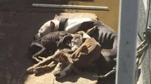four emaciated dogs rescued from pico rivera home after disturbing