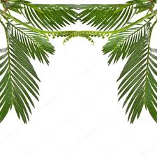border of leaves palm tree on white background stock photo