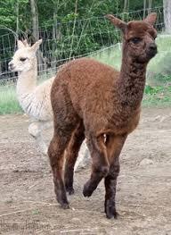 Alpaca Sheep Meme - newborn alpaca cria on the move alpaca crias of howling hill