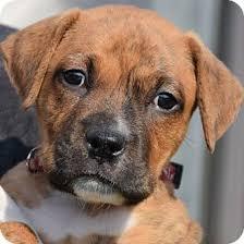 affenpinscher a donner crown point in boxer american staffordshire terrier mix meet