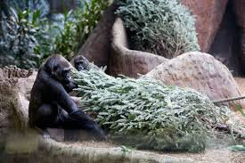 what does a gorilla want with a christmas tree in january