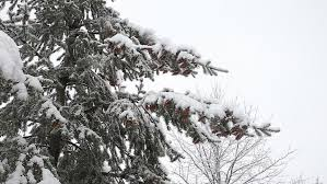 spruce tree with many cones in a snowstorm grey and winter