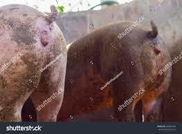 pig very dirty stock photo 289603403 shutterstock