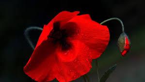 poppy flower red bud embossed wallpaper flower hd 16 9 high