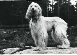 afghan hound kennel in australia history eta pauptit and the vdom afghan hounds