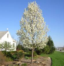 cleveland select ornamental pear hello hello plants garden