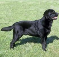 afghan hound and labrador retriever dog breeds browse 151 dog breeds petfinder