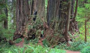 what are the top10 highest trees of the planet and their location