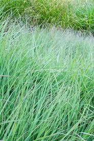 Big Bluestem Ornamental Grass Andropogon Gerardii Lord Snowdon Big Bluestem Grass Plant