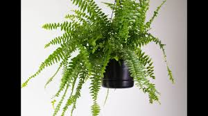 boston fern house plant how to take care of a boston fern