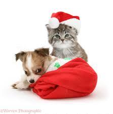 santa hats pets maine coon kitten and chihuahua puppy in santa hats photo wp26238