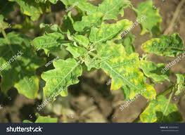 Plant Diseases With Pictures - garden design garden design with tomato plant diseases with easy