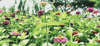 missouri native plants missouri botanical garden st louis public radio