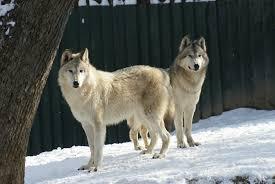 imagenes sorprendentes de lobos el lobo ártico un verdadero superviviente zoo aquarium de madrid