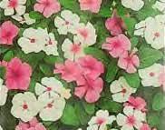 Vinca Flower Information - how to grow vinca or periwinkle annual flower plants gardener u0027s