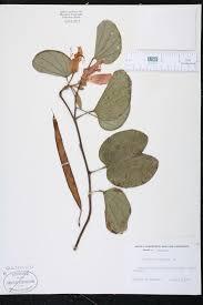 bauhinia variegata species page isb atlas of florida plants