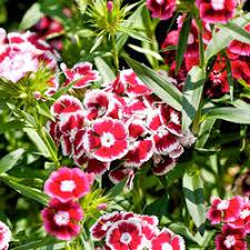 perennial flowers image gallery howstuffworks