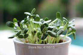 50g oil sunflower sprouts seeds baby black sunflower organic non