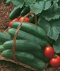 bush champion cucumber seeds and plants vegetable gardening at
