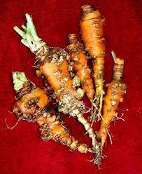 nematodes and marigolds garden myths