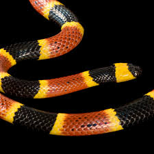 eastern coral snake national geographic