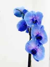 Blue Orchid Flower - 98 best flower orchid images on pinterest orchids orchid