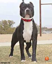 american pitbull terrier 10 months grim my 10 month old american bully pit bull chat forum