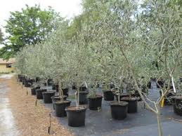 olive tree growers for planting or re potting your