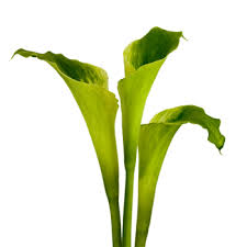 cala lilies goddess standard calla